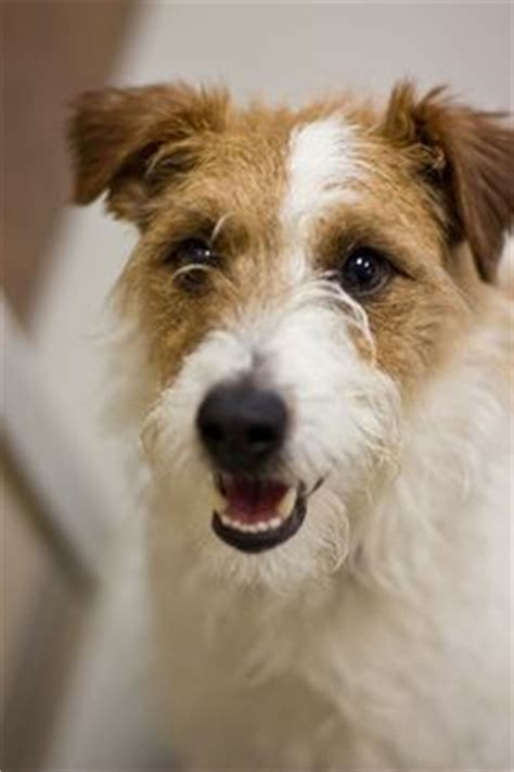 haircut ideas for long hair jack russell dogs merlin jack russell terrier mix rescue dogs waiting