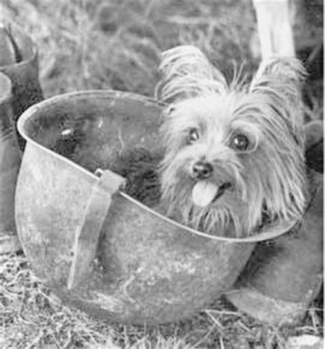 smokey the yorkie smoky the world war ii yorkie war barking bitches barking bitches