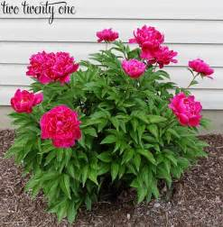 growing peonies weddbook
