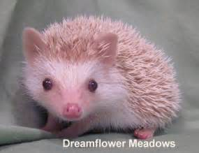 hedgehog colors hedgehog colors dreamflower