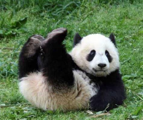 himpunan gambar beruang panda yang sangat comel cisdel