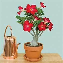 Indoor Fragrant Plants - adenium desert rose red logee s tropical plants