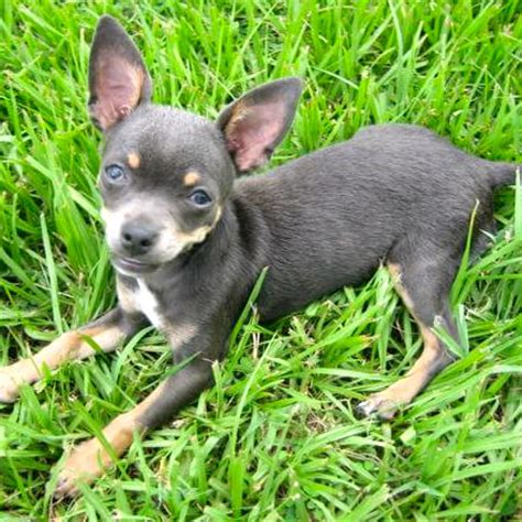 how to take care of a chihuahua puppy chihuahua care guide how to take care of a chihuahua breeds picture