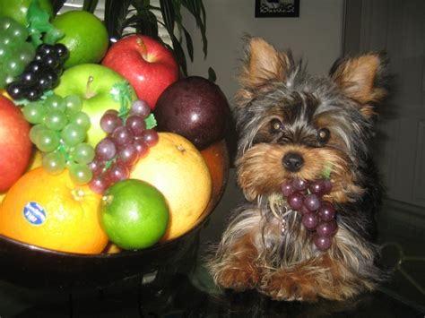 can yorkies eat grapes 1478 best yorkie images on yorkies yorkie and terriers