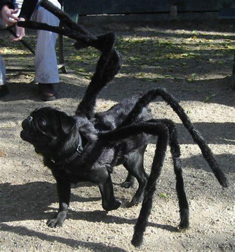 black pug spider costume gus the tarantula pug gus the scary black pug his in taran flickr