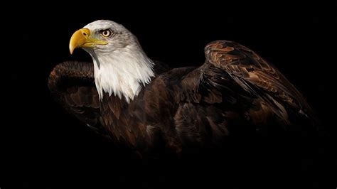 black eagle hd wallpaper bald eagle wallpaper hd images one hd wallpaper pictures