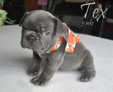 grey frenchie puppy grey miniature bulldog www pixshark images galleries with a bite