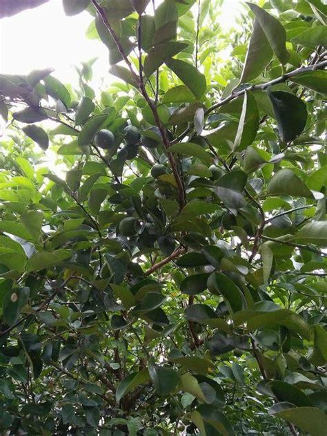 Buah Jeruk Nipis membuat pohon jeruk berbuah lebat oleh jejen al cireboni
