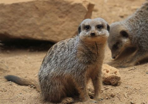 meerkats are born with hair but not coats and with their closed they will live in the