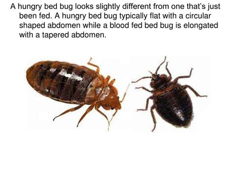 are bed bugs flat ppt bedbugs powerpoint presentation id 2334251