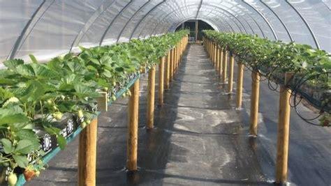 coltivazione delle fragole in vaso coltivazione delle fragole piccoli frutti coltivazione
