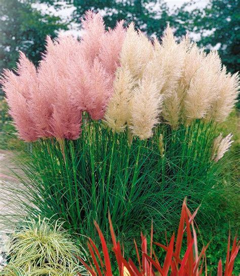 winterharte balkonpflanzen bilder pasgras rosa kaufen otto