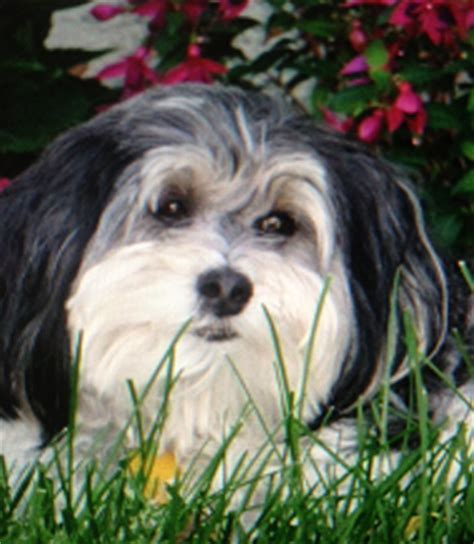 havanese show dogs havanese puppies friends and family show dogs breeds picture