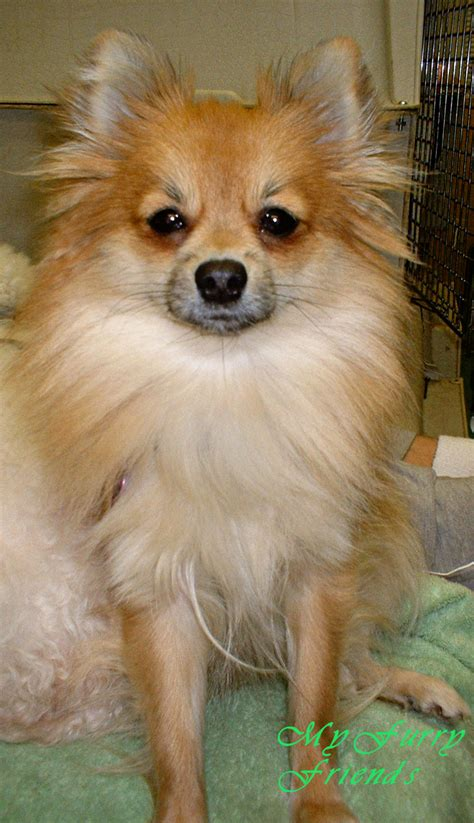 pomeranian hair care hair pomeranian breeds picture