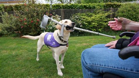 assistance dogs canine partner bringing owner crutch