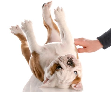 why do dogs kick their back legs why do dogs kick their legs when you rub their belly reference