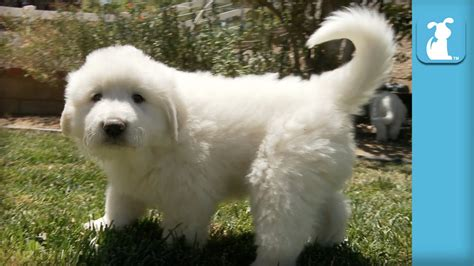 free great pyrenees puppies the fluffiest great pyrenees puppies puppy