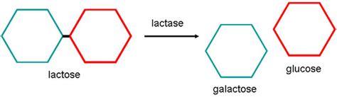 diagram of lactose and lactase reaction lactase thinglink