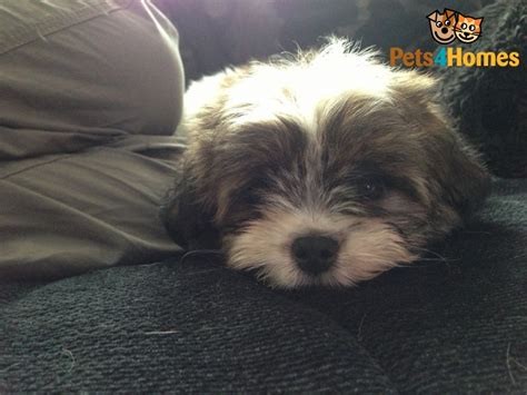 papillon cross shih tzu shih tzu cross papillon boy puppy 8wks bton oxfordshire pets4homes
