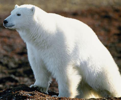 Bears White hunters predators born killers the ill community