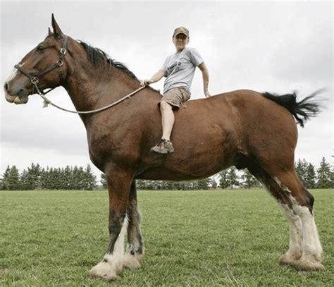 1 Paket Sho Kuda poe si kuda tertinggi di dunia