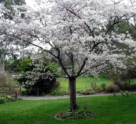 Plumb Tree by Tree Free Wallpaper Plum Tree