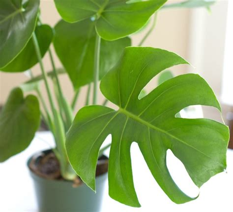tanaman philodendron monstera split leaf philodendron
