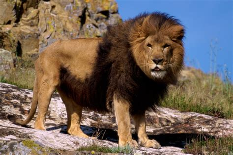 Of Lions marvelous facts about lions that will relish reading