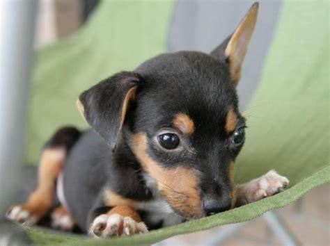 doberman mix puppies beagleman doberman pinscher beagle mix info puppies temperament pictures