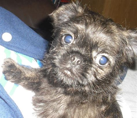 brindle pug for sale uk pug x lhasa apso boy pup quotes