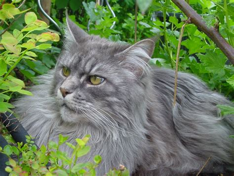 Yellow Kids Bathroom - maine coon cat personality characteristics and pictures inspirationseek com
