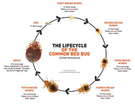 life cycle of a bed bug city of sioux falls bed bug life cycle