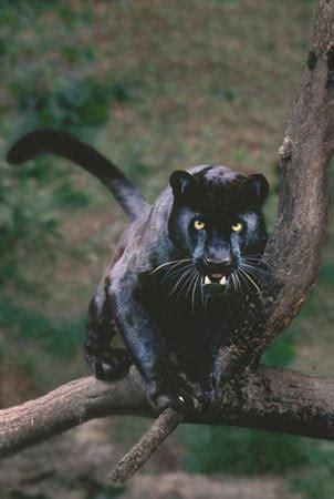 schwarzer panther durchstreift die schweiz