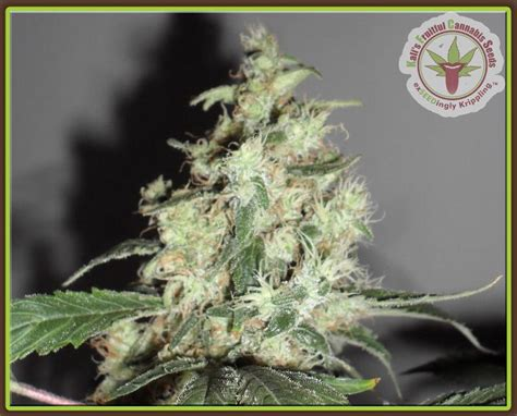 lade per cannabis a cheesy mist kali s fruitful cannabis seeds