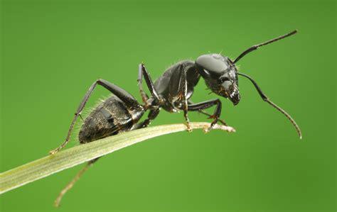 imagenes de la vida de las hormigas 3 asombrosas conductas propias de las hormigas batanga
