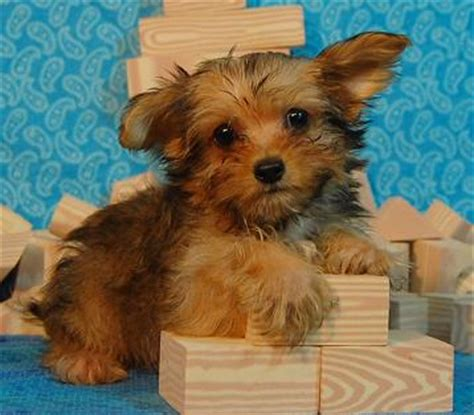 yorkie puppies for sale in springfield ma yorkillon yopa puppies for sale massachusetts