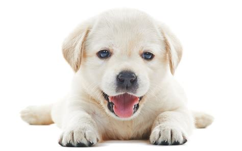 bringing a puppy home bringing your puppy home tips for bringing your new puppy home from royal canin and