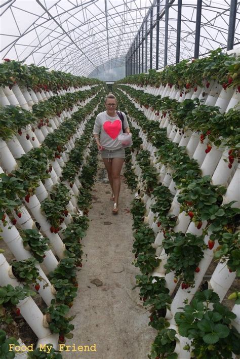 Strawberry Vertical Garden 17 Best Ideas About Hydroponic Strawberries On