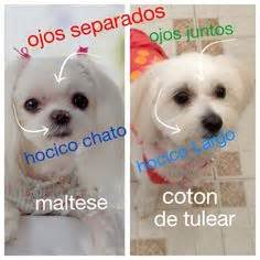 difference between coton de tulear and havanese mmmm coton de tulear quot quot