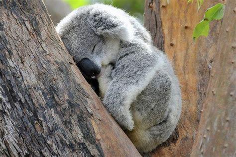 schlafen auf englisch koala