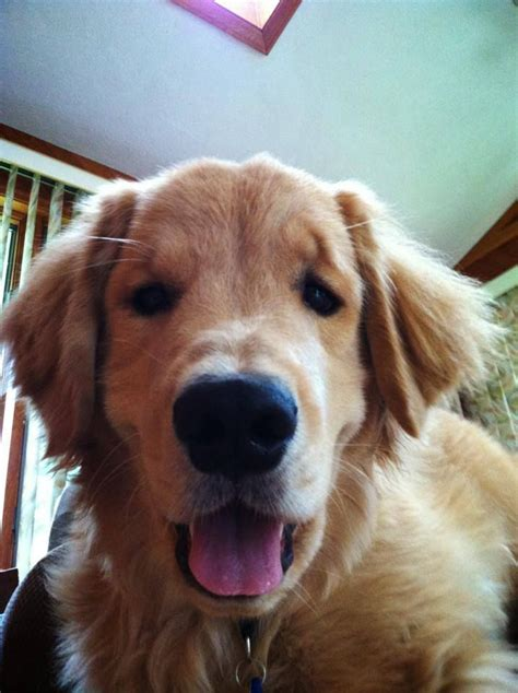 by good morning golden retriever 17 best images about golden retrievers kizzy dog on