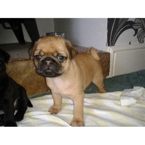 patterdale cross shih tzu pug shih tzu cross pug puppy for sale in wigton cumbria ca7 3je