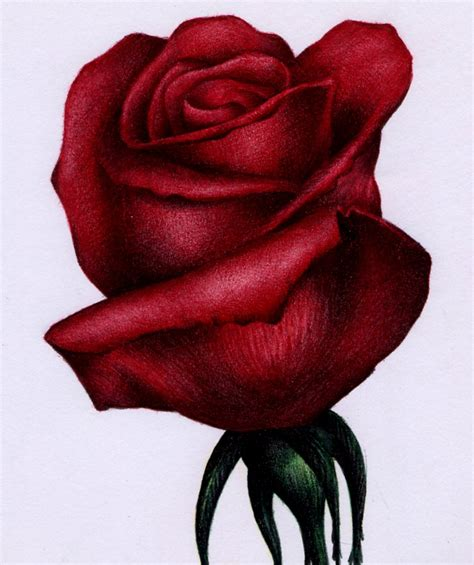 red rose sketch bic ballpoint pen by vianaarts on deviantart