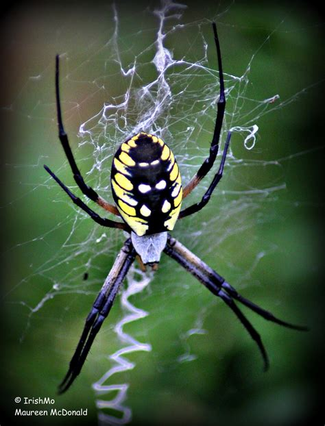 spider with zigzag pattern in web 1000 images about spiders on pinterest jumping spider