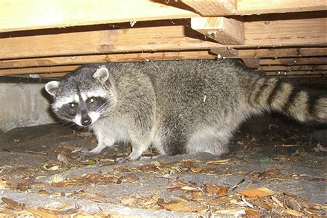 raccoons  raccoon prevention tips