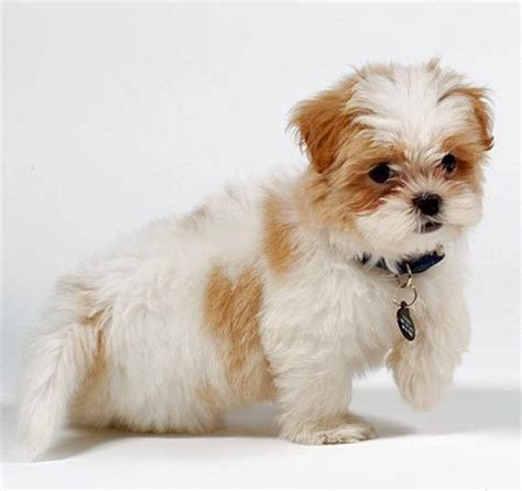 maltese and shih tzu difference shih tzu maltese mix puppy