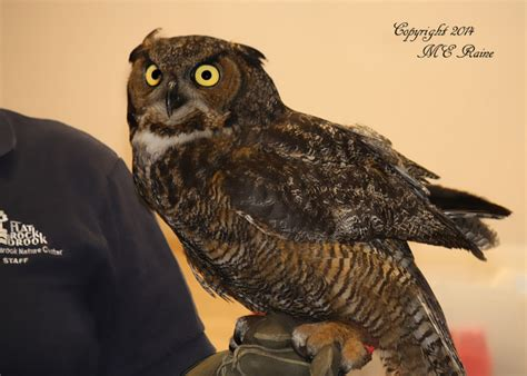 the live owls from sunday s owl talk at the mec the