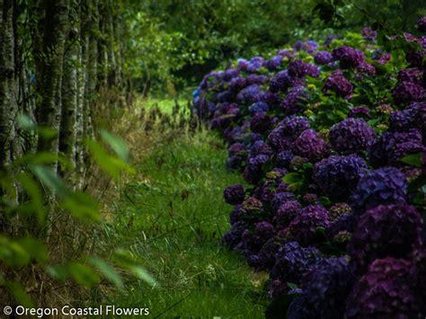 Hydrangea Wedding Flowers by Purple Hydrangea Wedding Flowers Oregon Coastal Flowers