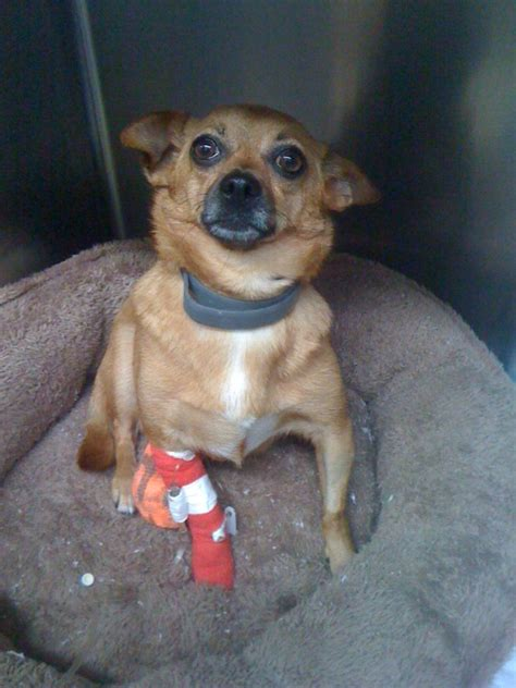 Komik Second Animal Doctor injured chihuahua gets second chance at animal hospital by sparling wareham ma