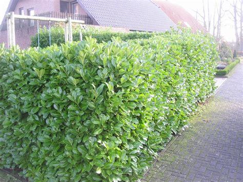 pflegeleichte pflanzen für garten pflegeleichte hecke garten speyeder net verschiedene